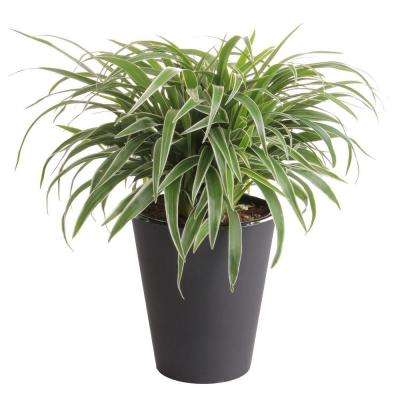 6 in. Spider Plant in Self Watering Pot