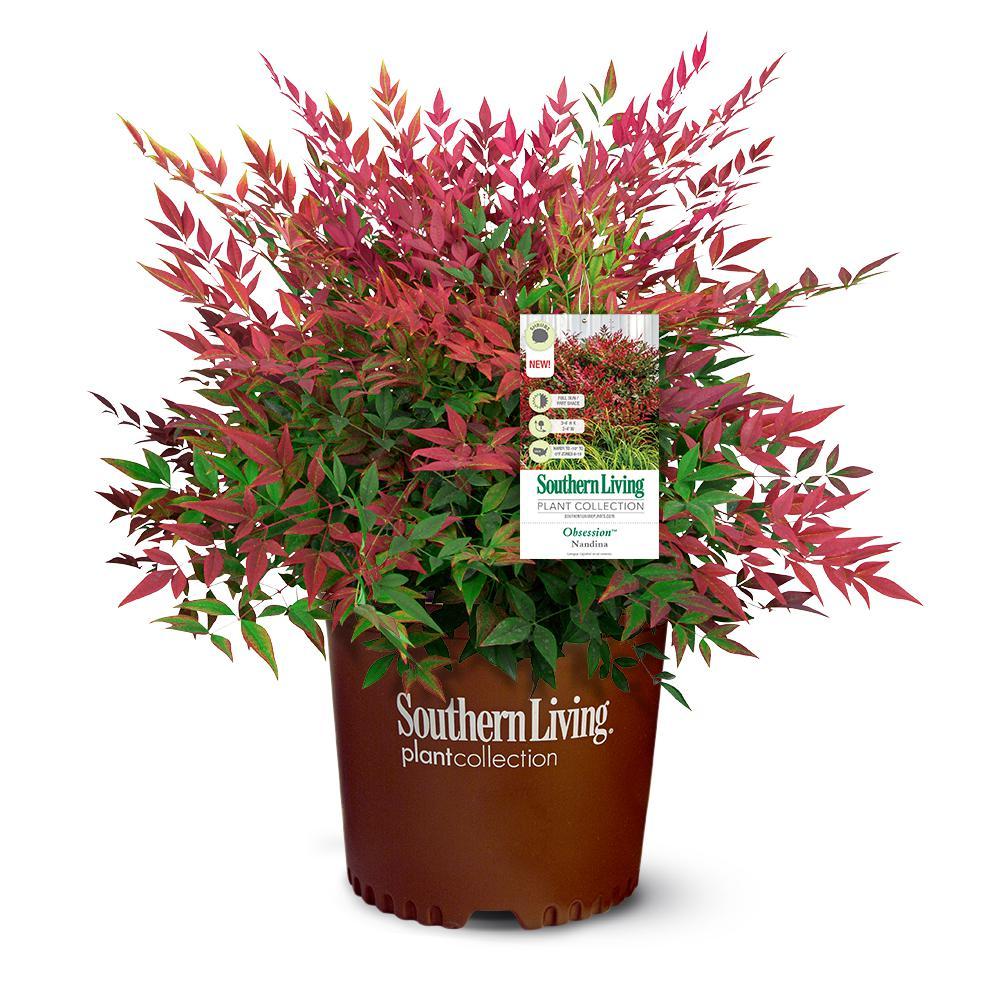 2.5 Qt. Obsession Nandina Shrub with Bright Red Foliage