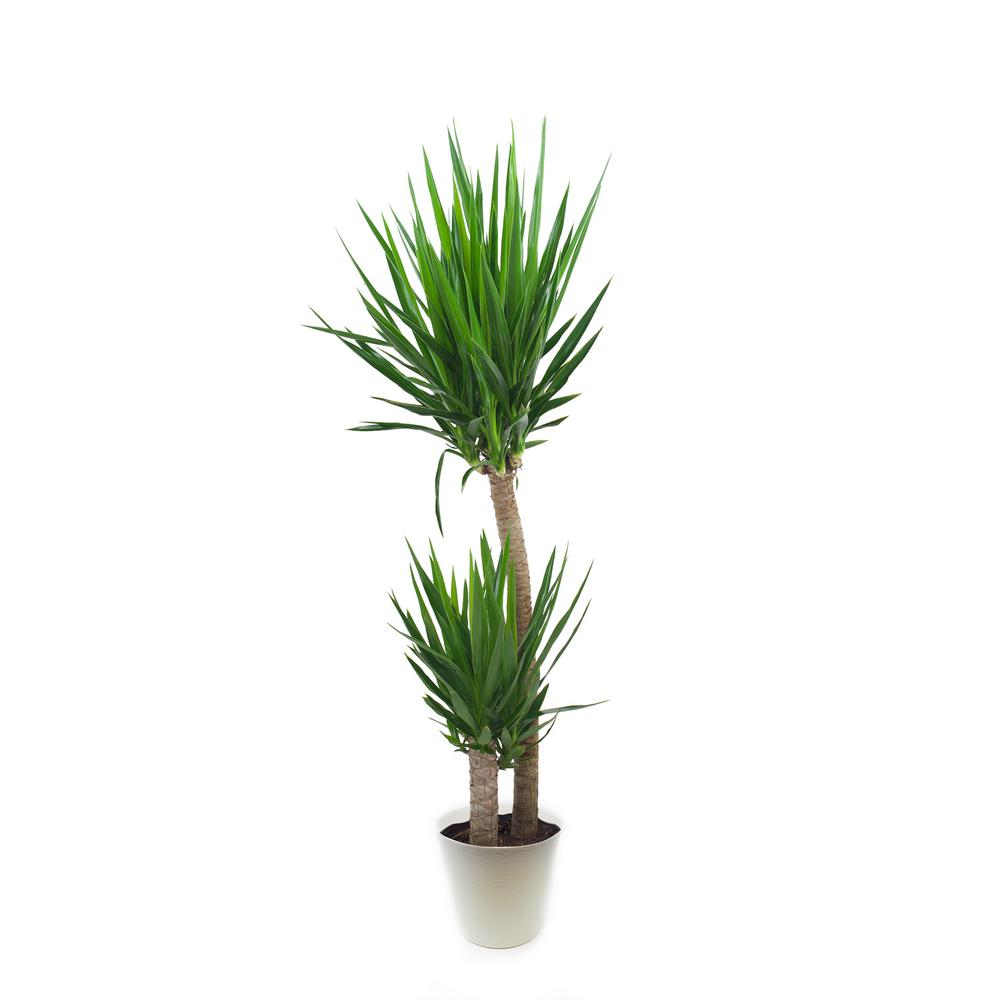 Pure Beauty Farms Yucca Cane Plant in 9.25 In. Designer Pot