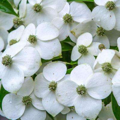 7 Gal. Empress of China Dogwood With Creamy White Blooms, Live Evergreen Shrub