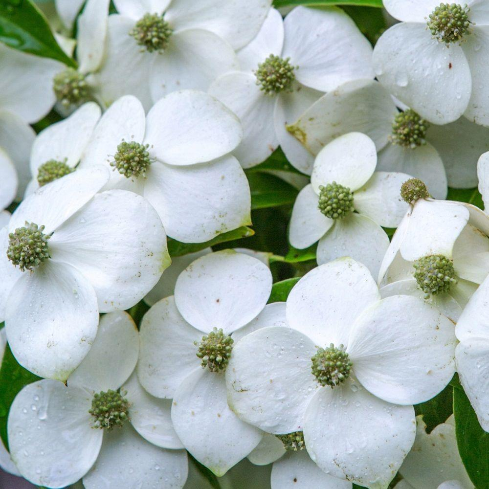 2 5 Qt Empress Of China Dogwood With Creamy White Blooms Live Evergreen Shrub