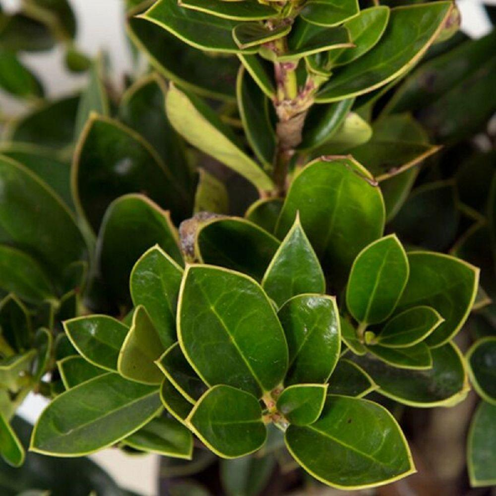 2.5 Qt. Carissa Holly(Ilex), Live Dwarf Evergreen Shrub, Glossy Foliage with