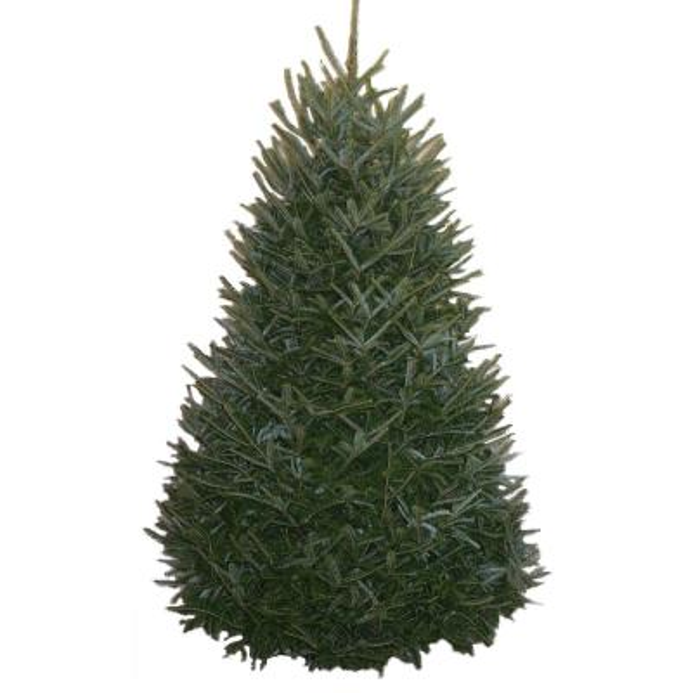 8-9 f. Freshly Cut Live Abies Fraser Fir Christmas Tree
