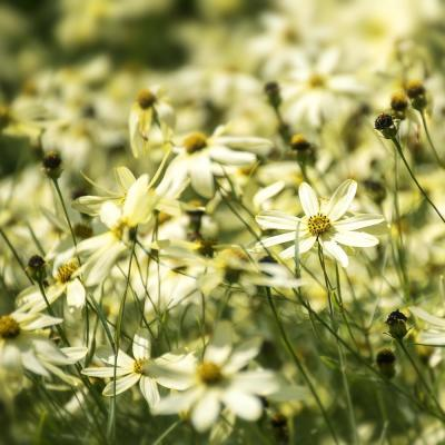 4.5 in. Quart Moonbeam Coreopsis (Tickseed) Live Native Perennial Plant with Creamy Yellow Flowers