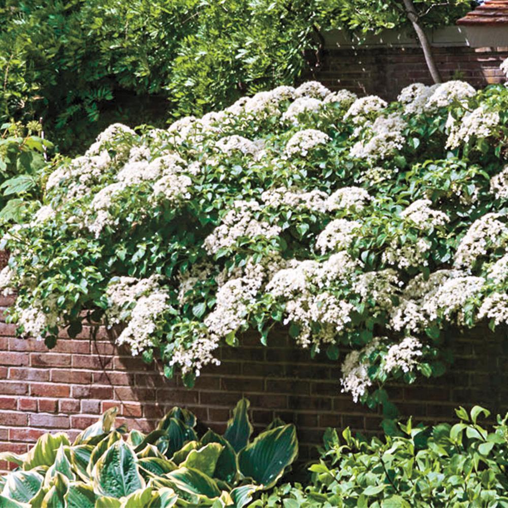 4 in. Pot Petiolaris Climbing Hydrangea Live Deciduous Plant White Flowering Vine