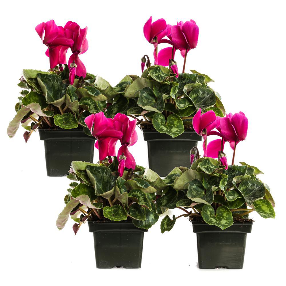 1.21-Pint Purple Cyclamen Latinia in 4 in. Pot (4-Pack)