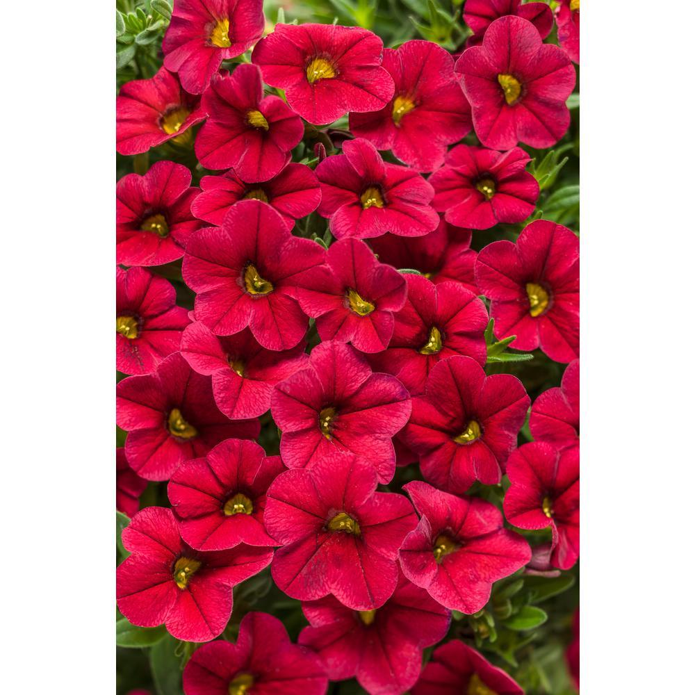 Superbells Red(Calibrachoa) Live Plant,True Red Flowers, 4.25 in. Grande, 4-pack