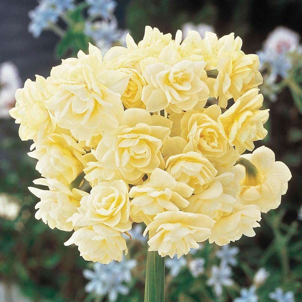 Erlicheer Paperwhite Narcissus Bulbs (25-Pack)
