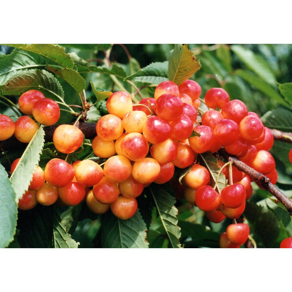 Online Orchards Dwarf Rainier Cherry Tree Bare Root Ftch001 The