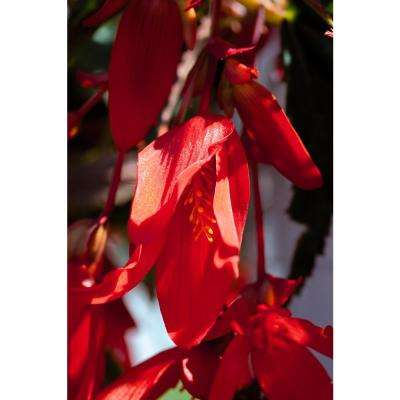 Proven Selections Santa Cruz Sunset (Begonia) Live Plant, Red-Orange Flowers, 4.25 in. Grande, 4-pack