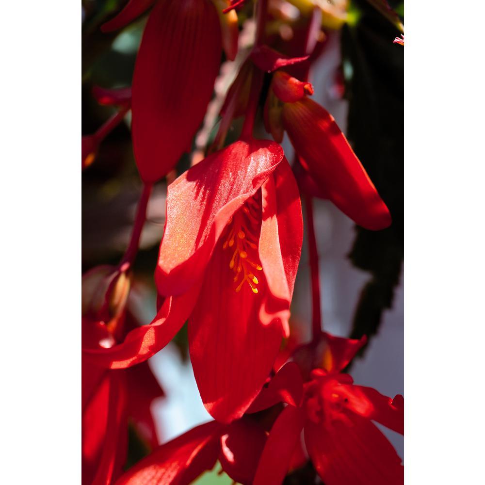 4-Pack, 4.25 in. Grande Proven Selections Santa Cruz Sunset (Begonia) Live Plant, Red-Orange Flowers