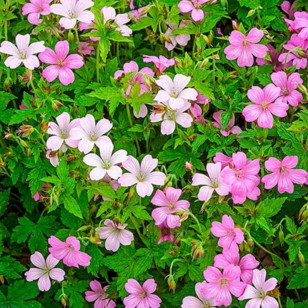Spring hill nurseries rose claire geranium live bareroot plant spring hill nurseries rose claire geranium live bareroot plant pink flowering perennial 1 mightylinksfo