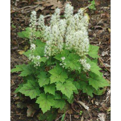 3 in. Pot Foamflower (Tiarella) Live Perennial Plant White Flowers with Pale Green Flowers