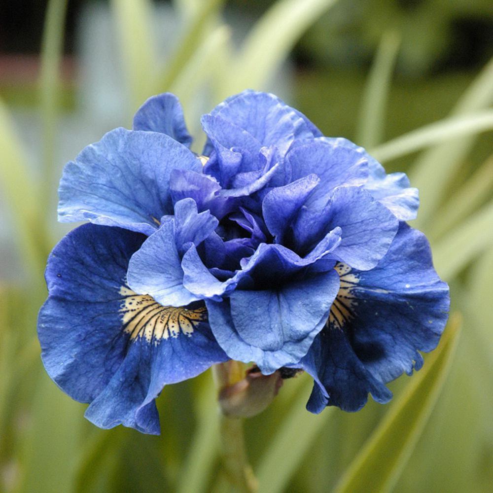 Iris Siberica Double Concord Crush Roots (Set of 5)