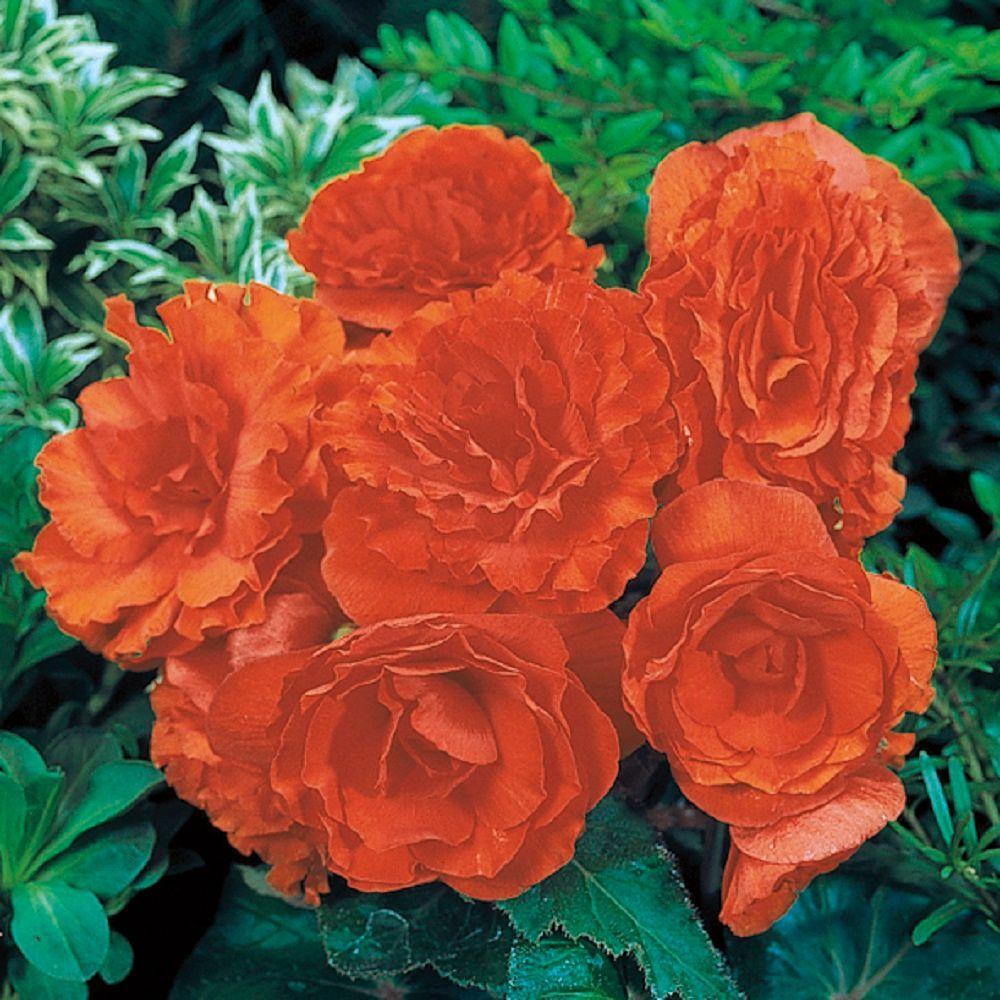 4-Pack, 4.25 in. Grande Nonstop Orange (Tuberous Begonia) Live Plant, Orange Flowers