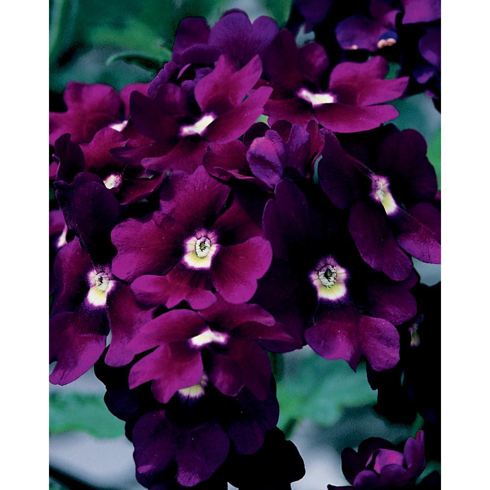 Verbena full sun annuals garden plants flowers the home depot lanai royal purple with eye verbena live plant purple flowers 425 in izmirmasajfo