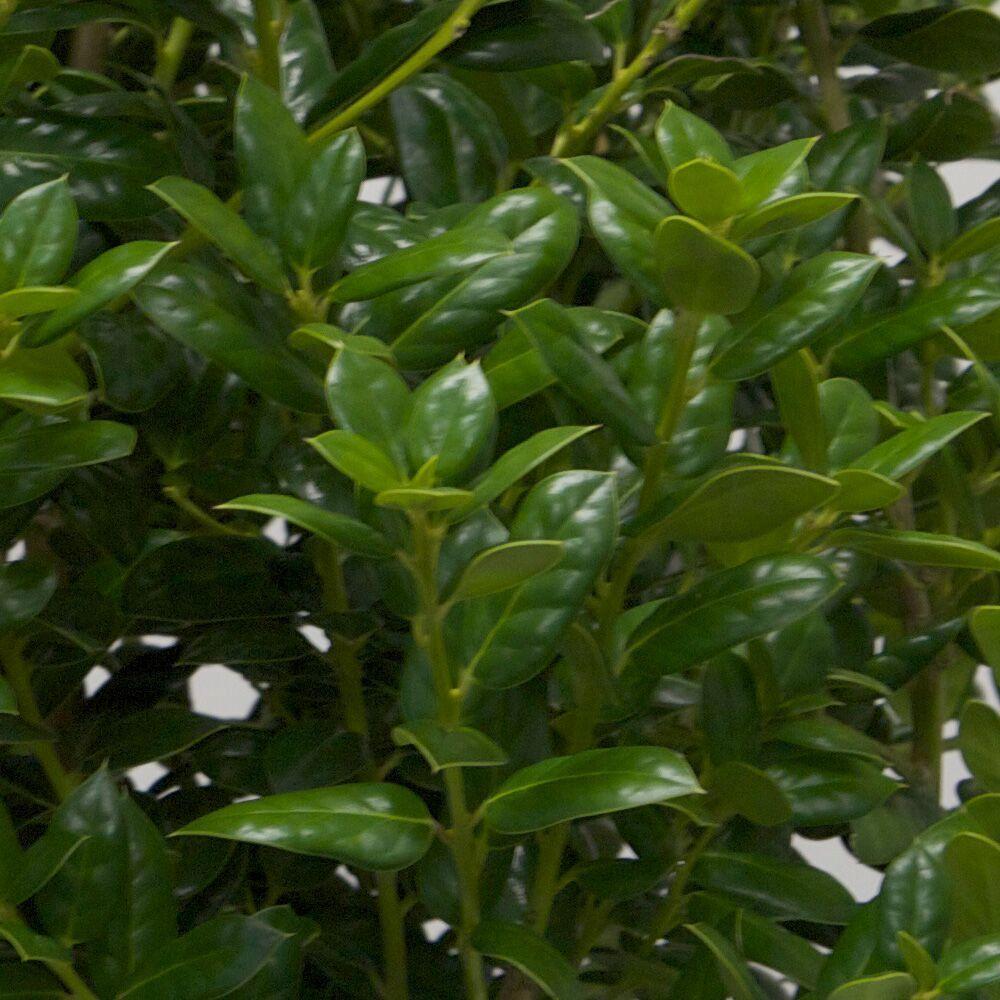 1 Gal. Dwarf Burford Holly(Ilex), Live Evergreen Shrub, Glossy Foliage with a Single Spine