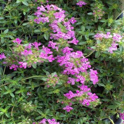 3 in. Coccineus Creeping Red Thyme Plant