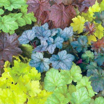 Mixed Colored Coral Bells (Heuchera) Live Bareroot Perennial Plants (3-Pack)
