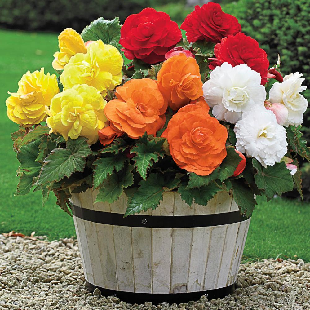 Breck S Multi Colored Giant Camelia Begonia Mixture Flowers Bulb