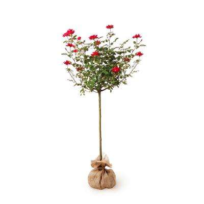 Knock Out Rose Tree with Red Flowers