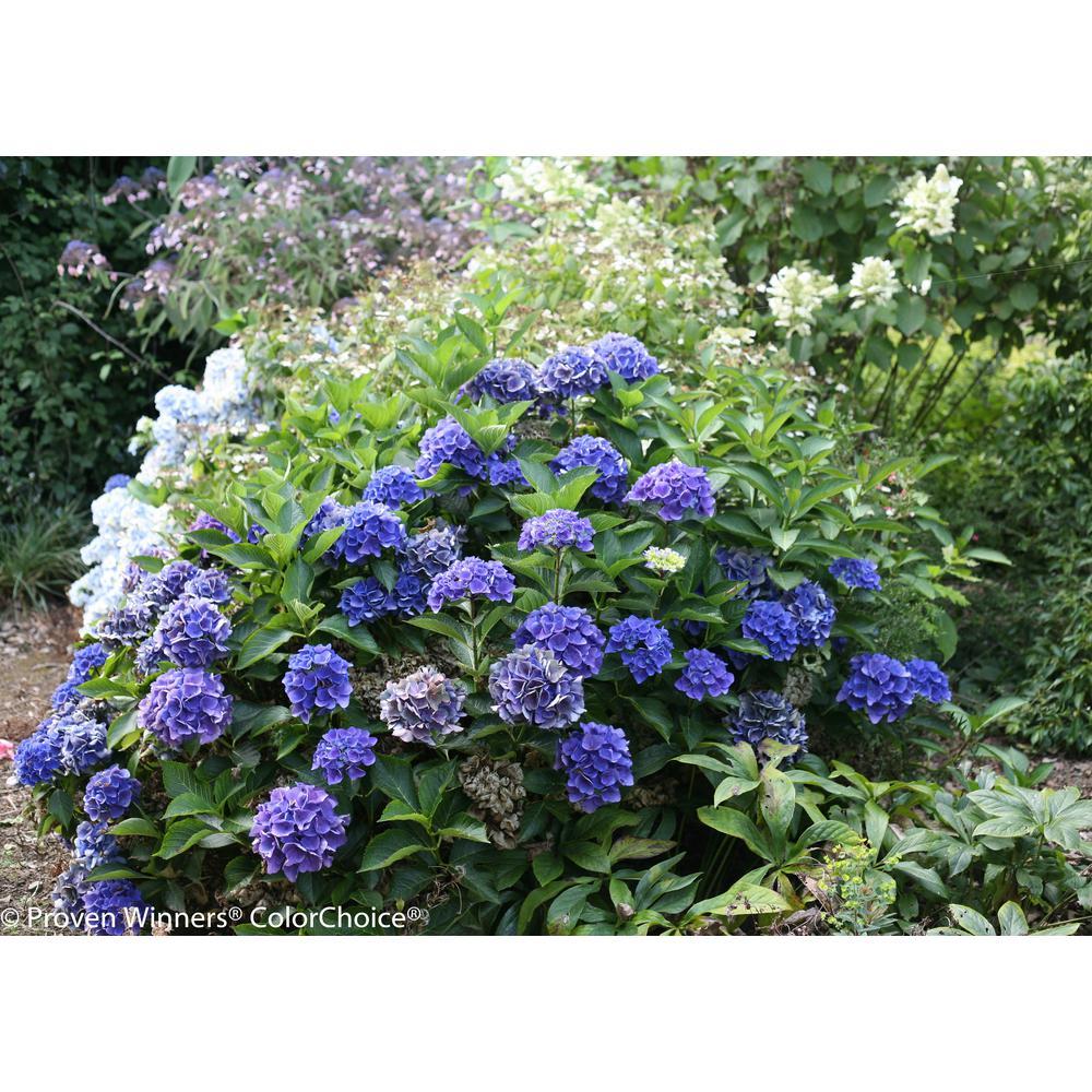 1 Gal. Cityline Venice Bigleaf Hydrangea (Macrophylla) Live Shrub, Pink, Blue