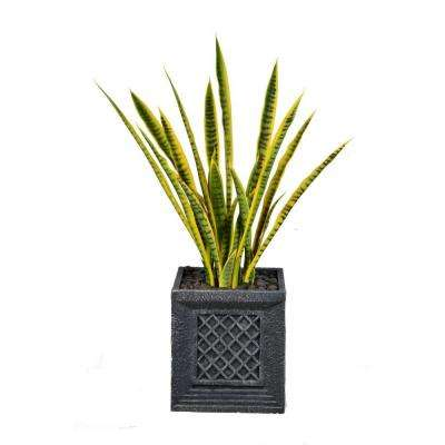 41 in. Tall Snake Plant in Planter