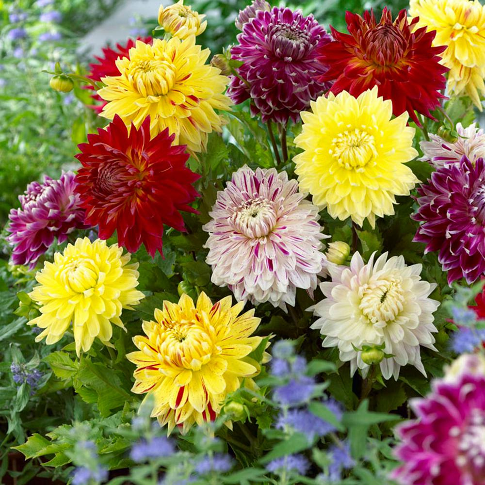 Van Zyverden Dahlias Giant Blooming Dinnerplate Mixed Bulbs Set Of