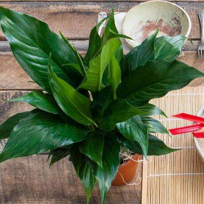 4 in. Pot High Five Peace Lily Live Potted Tropical Plant (1-Pack)