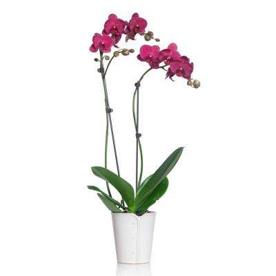 Pink 5 in. Classic Orchid Plant in Ceramic Pot (2-Stems)