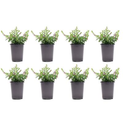 1.38 Pt. Cuphea Mexican Heather Plant in 4.5 in. Grower's Pot (8-Plants)