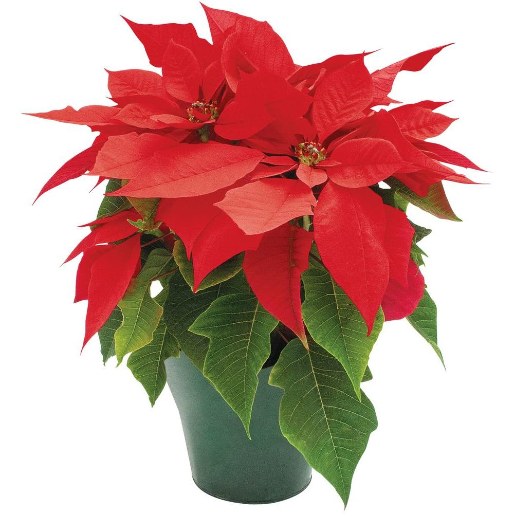 4 In Live Poinsettia In Store Only 4inp2013 The Home Depot