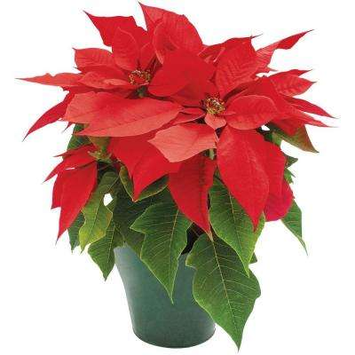 4 in. Live Poinsettia (In-Store Only)