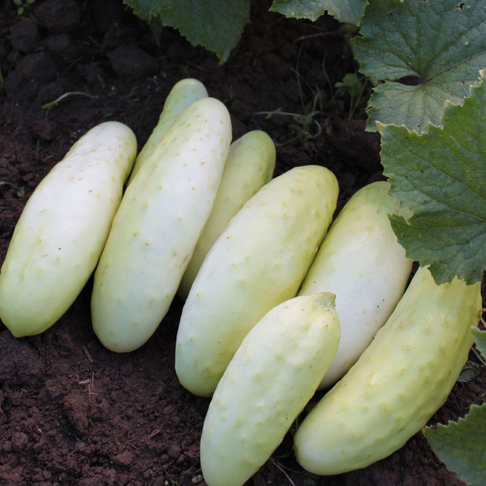 Organic Platinum Cucumber Seed