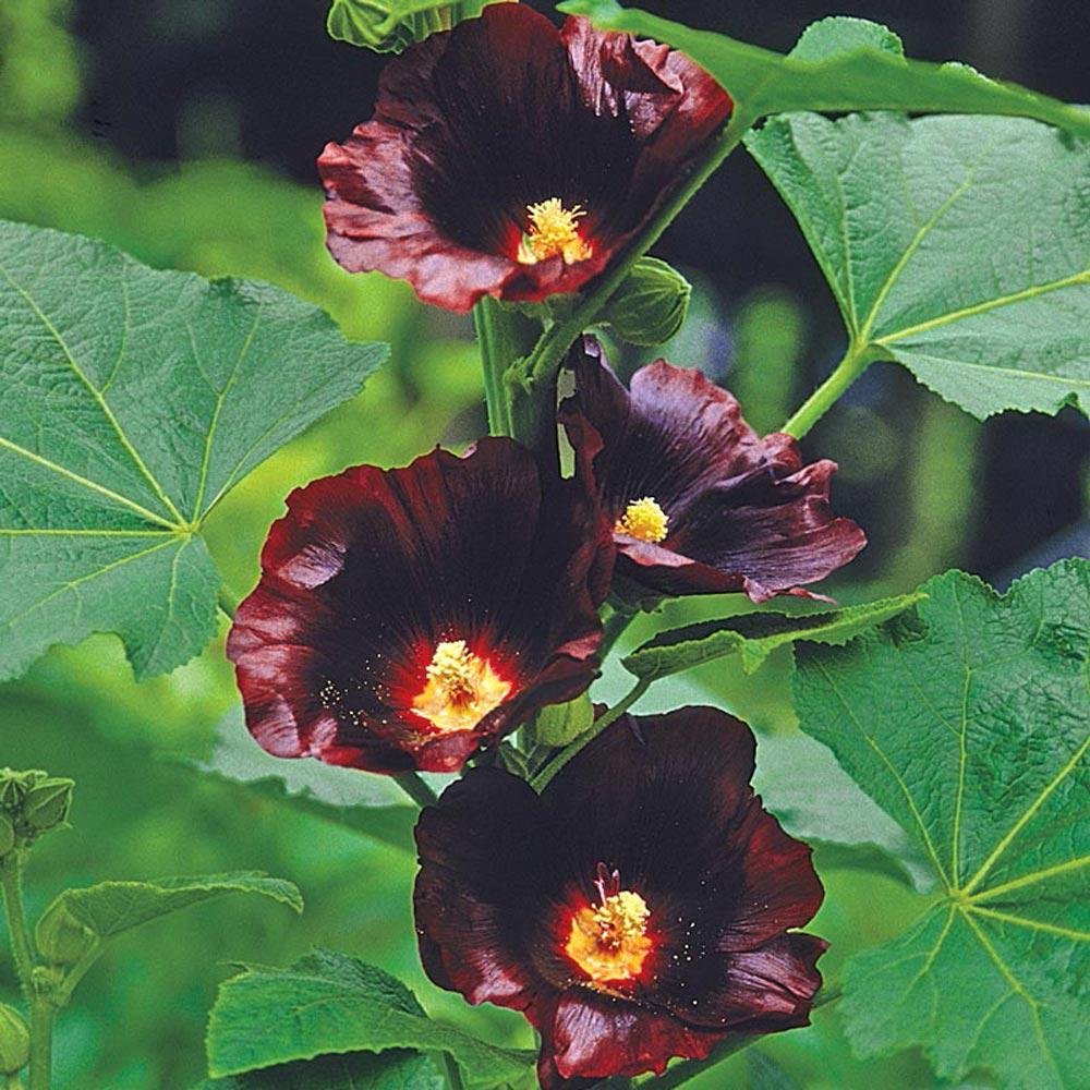 2.5 in. Pot Blackknight Hollyhock (Alcea), Live Deciduous Plant, Dark Red