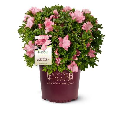 1 Gal. Autumn Debutante Azalea Shrub with Large Delicate Pink Flowers