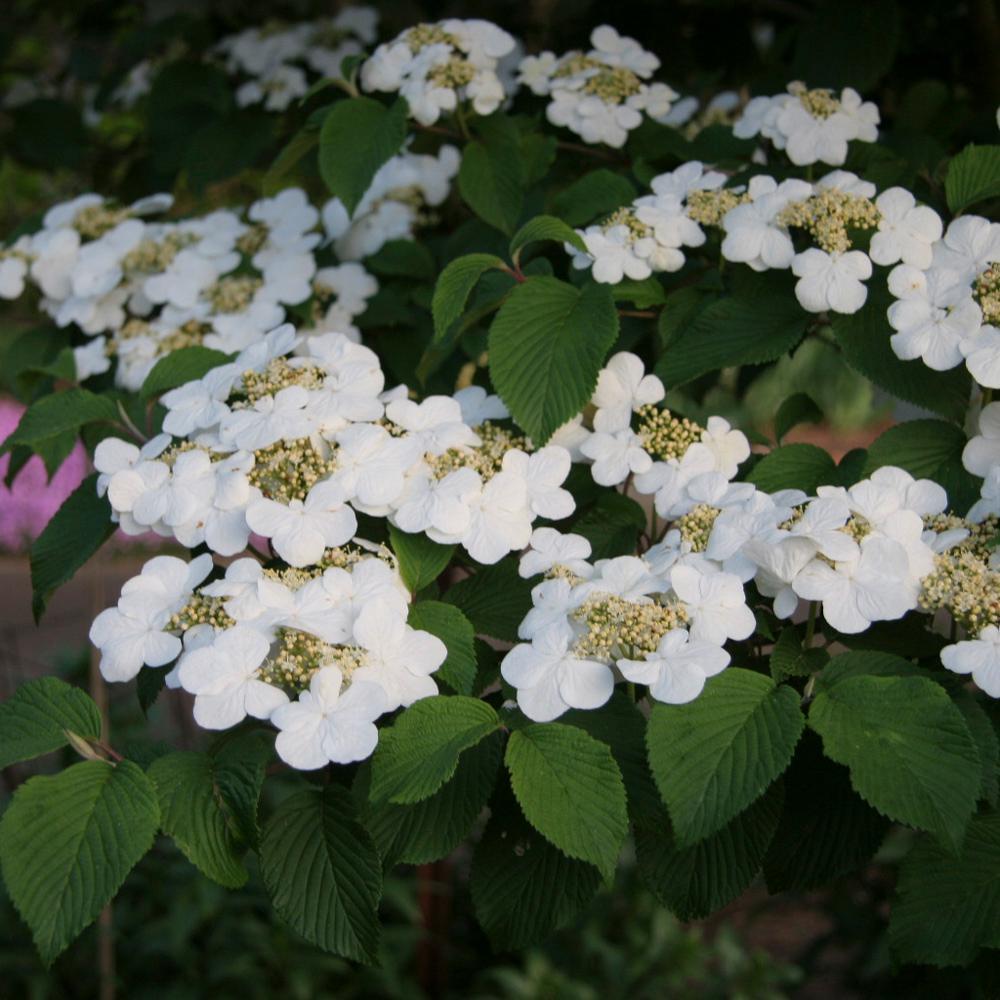 2.50 Qt. Pot Shasta Doubfile Viburnum, Live Deciduous Plant, White Flowering Shrub (1-Pack)