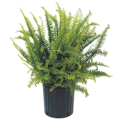 1.9 Gal. Kimberly Fern Plant in 9.25 in. Grower Pot