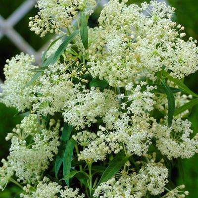 Support The Monarchs White Asclepias Ice Ballet Roots (3-Pack)