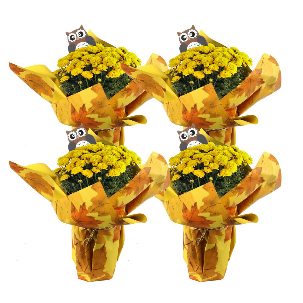 Costa Farms Costa Farms 1 Qt. Ready to Bloom, Yellow, Fall Mums, Chrysanthemum (4-Pack)