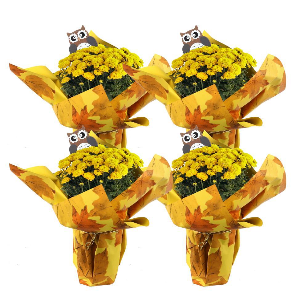 1 Qt. Ready to Bloom, Yellow, Fall Mums, Chrysanthemum (4-Pack)
