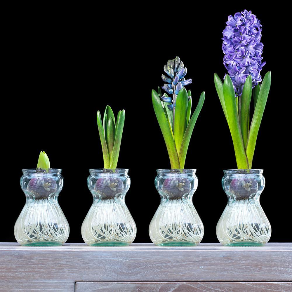 Hyacinth KitBlue Bulbs with Clear Artisan Glass)