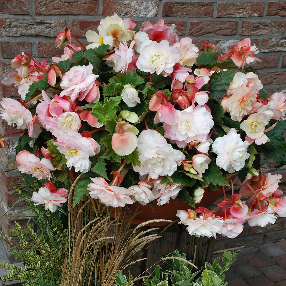 Van Zyverden Hanging Basket Begonias Odorata Red And White Bulbs