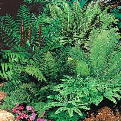 Native Woodland Fern Mix (5-Pack)