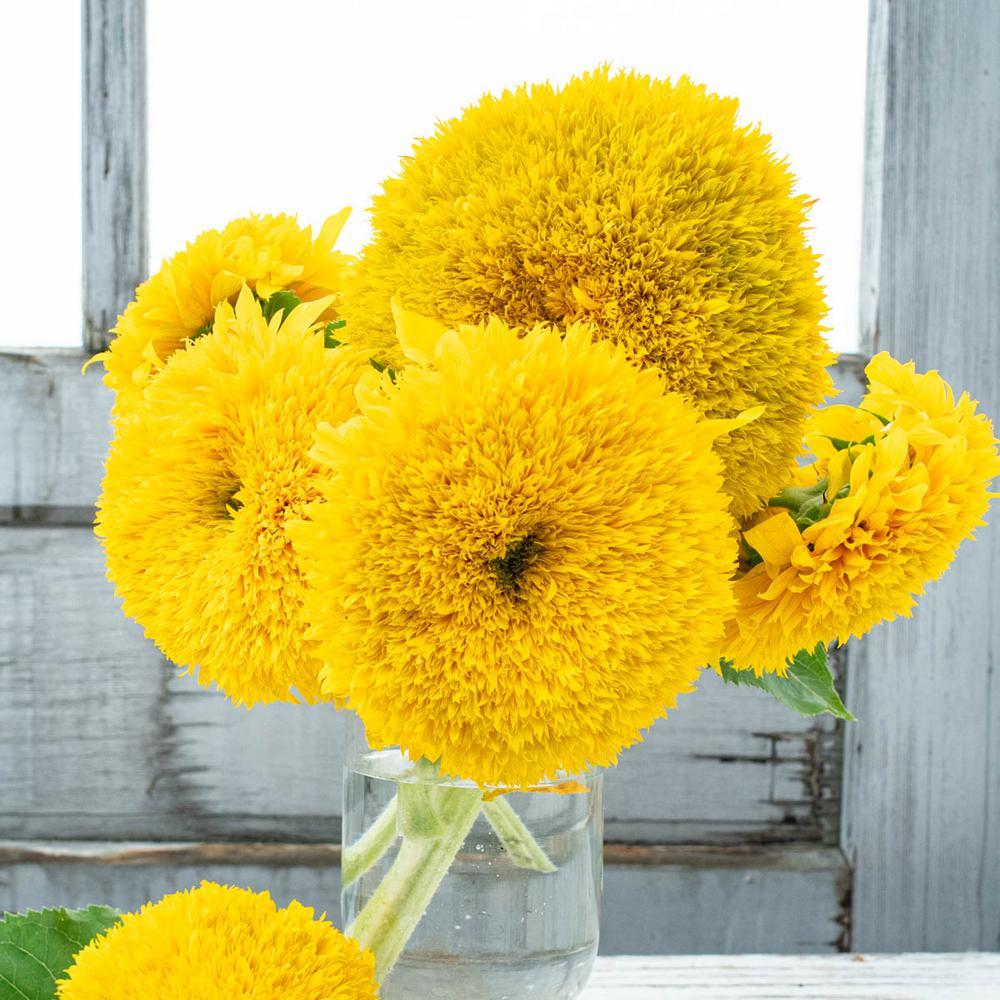 Golden Bear Sunflower Seeds (25-Seed Packet)
