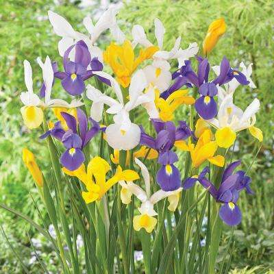 Dutch Iris Mixed Set Of 25