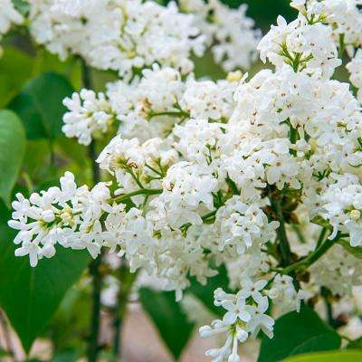 4 in. Pot Snowy Beach Party Lilac (Syringa) Live Deciduous Plant