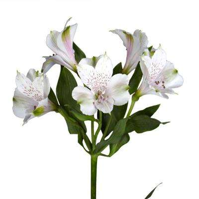 Fresh White Alstroemeria Flowers (100 Stems - 400 Blooms)