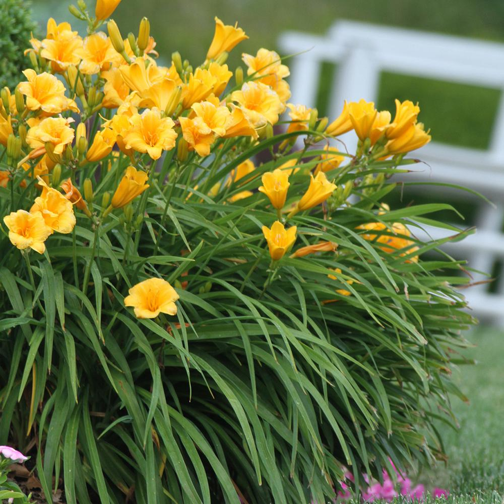 Longfield Gardens #1 Fragrant Returns Daylily Bulbs (15