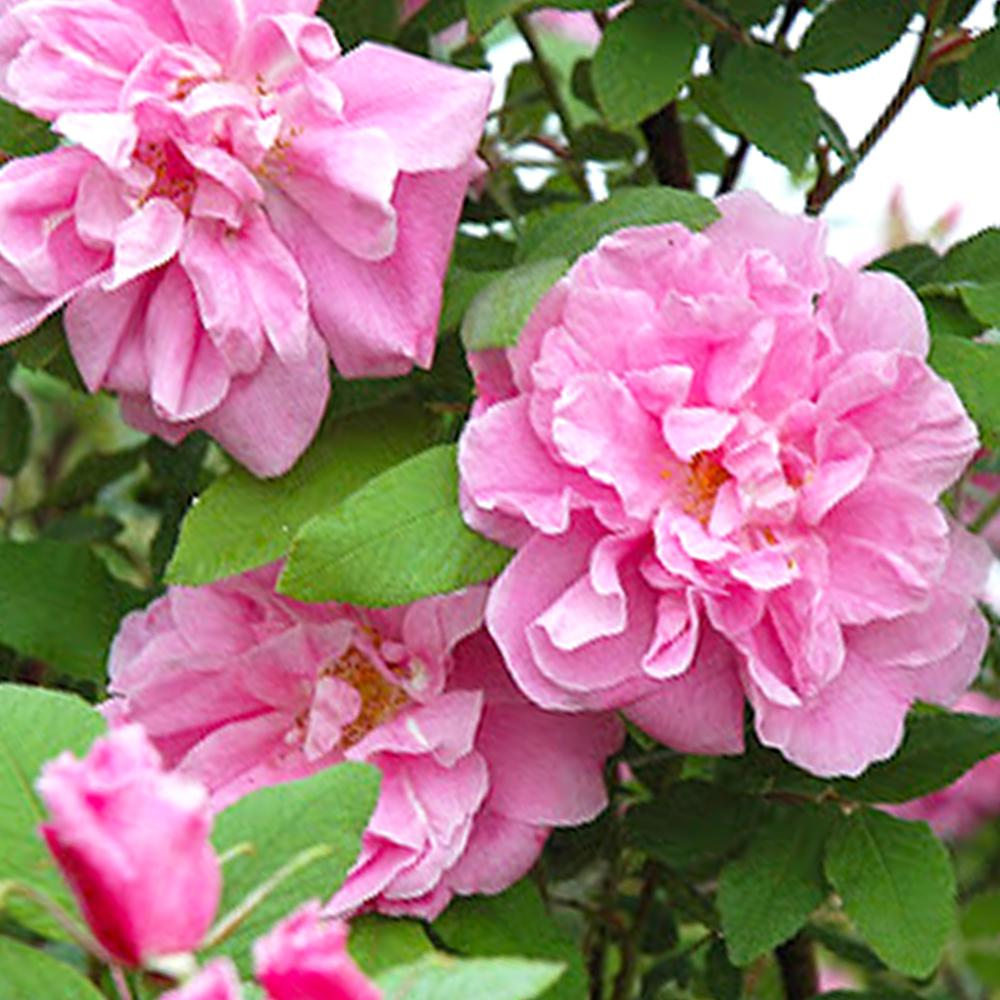 Mea Nursery Fragrant Therese Bugnet Shrub Rose with Pink Flowers was $27.98 now $11.49 (59.0% off)